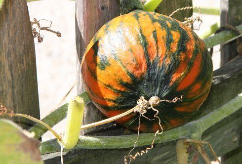 Kürbis: Herbstlicher Vorbote und Genuss auf höchstem Niveau!