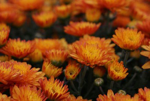 Herbststauden - Leuchtende Blüten verlängern den Sommer
