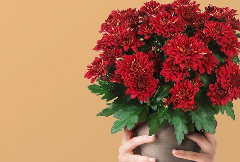 Chrysantheme – Blume der Kaiserin