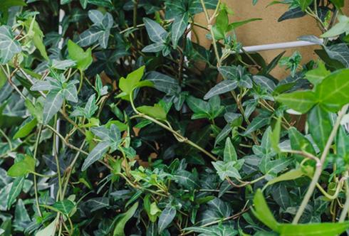 Kletterpflanzen Pflege