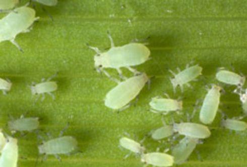 Pflanzen vertreiben Schädlinge