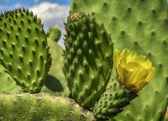 Feigenkaktus (Opuntia consolea)