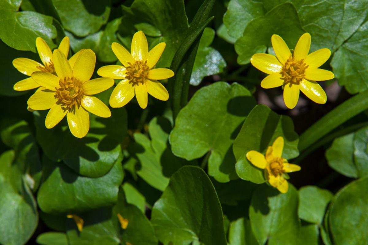 zeigerpflanze scharbockskraut bellaflora. Black Bedroom Furniture Sets. Home Design Ideas